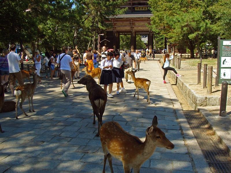 Schulmädchen, die Sika Hirsche füttern in Nara